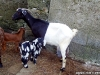Beautiful-goats-b
